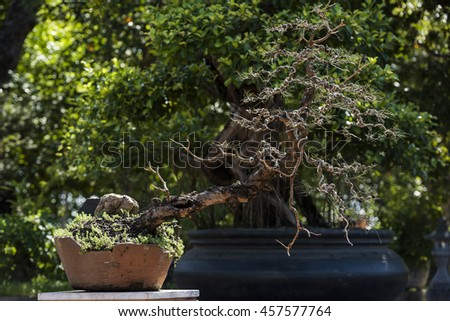bonsai tree in pot outdoor