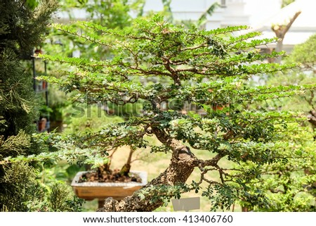 bonsai tree in the garden.