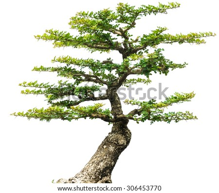 bonsai tree isolated - stock photo