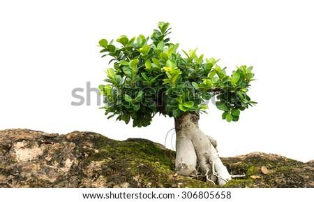 bonsai tree isolated - stock photo