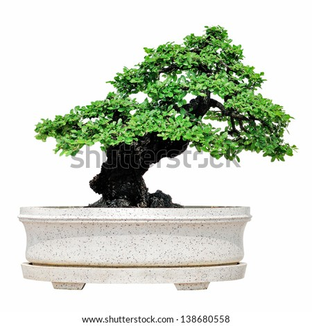 Bonsai tree isolated on white background - stock photo