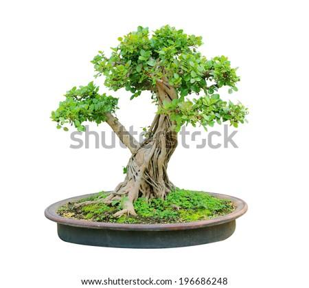 bonsai tree isolated on white background - stock photo