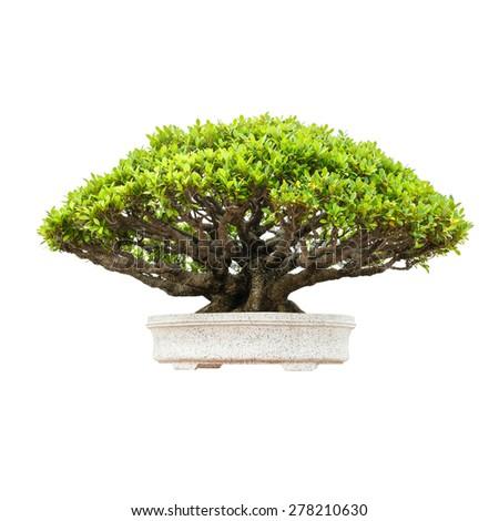 Bonsai tree isolated on white background. - stock photo
