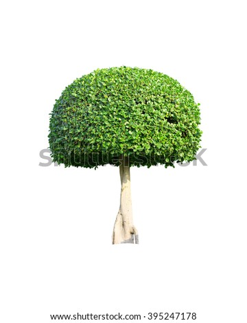 Bonsai tree isolated on white background, Green tree. Clipping path. - stock photo