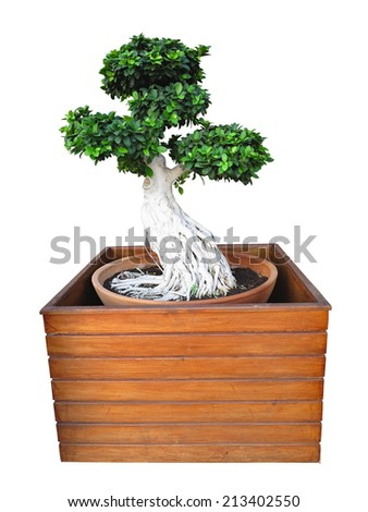Bonsai tree isolated on white background in wooden tub - stock photo