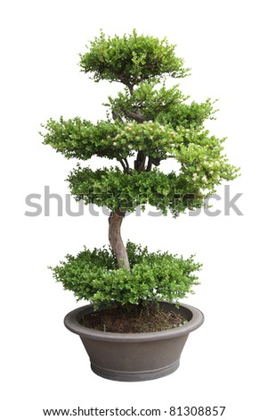 bonsai tree isolated on white,miniature elm tree