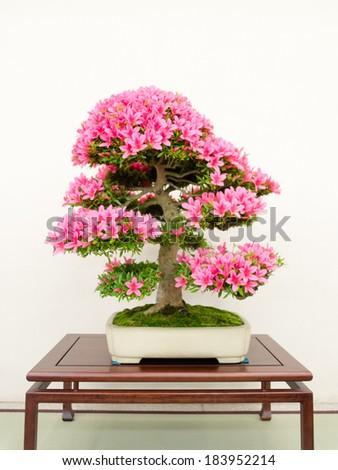 Bonsai tree of azalea - stock photo