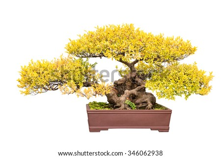 bonsai tree of chinese elm in autumn isolated on a white background - stock photo