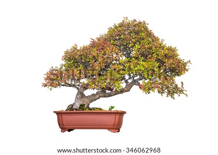 bonsai tree of chinese elm in autumn with a white background - stock photo