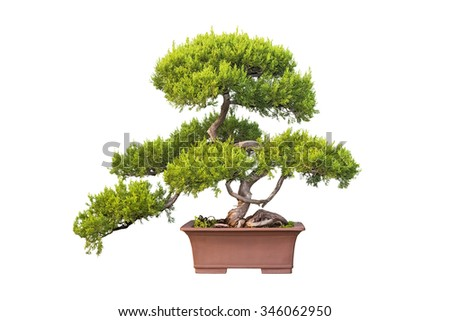 bonsai tree of chinese juniper isolated on a white background - stock photo