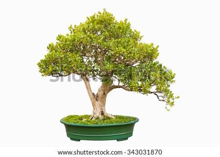 bonsai tree of chinese littleleaf box - stock photo