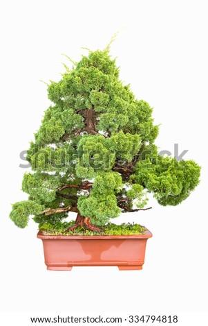 bonsai tree of cypress isolated on white - stock photo