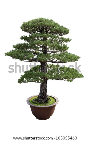 bonsai tree of pine with white background,general decoration in the traditional garden or park entrance