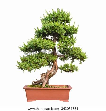bonsai tree of shimpaku juniper - stock photo
