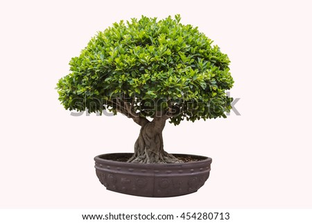 bonsai tree on isolate background for decorate