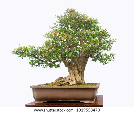 Bonsai tree on write background