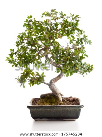 Bonsai tree photographed in the studio on white background - stock photo