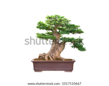 Bonsai tree Planted in the garden   isolated on white background