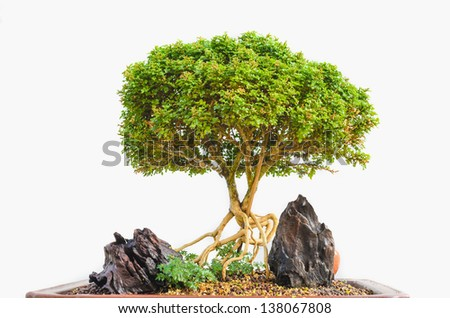 Bonsai tree which plat in the tray with white isolated - stock photo
