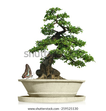 bonsai tree with Butterfly in pot Isolated on white background with clipping path. - stock photo