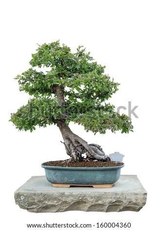 Bonsai tree with white background  - stock photo