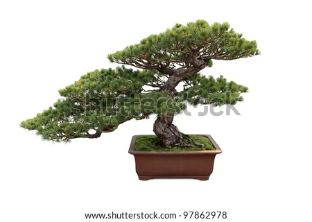 bonsai tree with white background , miniature pine tree - stock photo