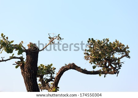 Bonsai trees with  blue sky - stock photo