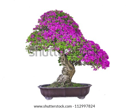 Bonsai white background - stock photo