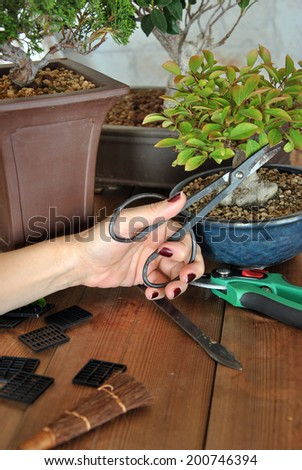bonsai with tools to cut, tree transplanting and maintain in good condition - stock photo