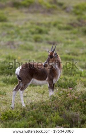 Bontebok calf (Damaliscus pygargus) stood in fynbos vegetation, looking over it's shoulder, Western Cape, South Africa - stock photo