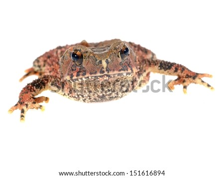 Bony-headed toad Ingerophrynus galeatus isolated on white - stock photo