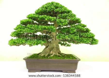 Bonzai plant - stock photo