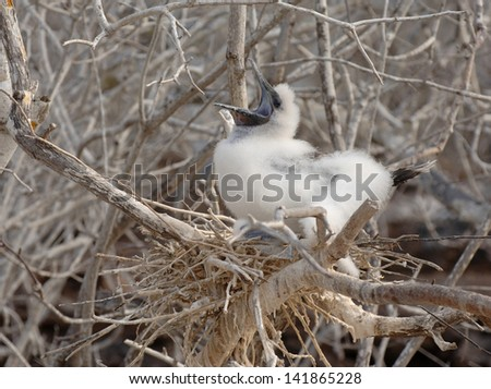 Booby Chick, Galapagos Islands - stock photo