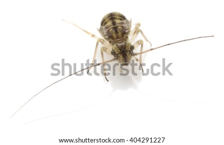 Booklice or barklice isolated on white background