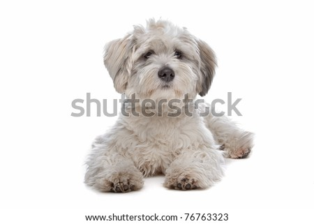 boomer, mixed breed dog in front of a white background