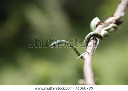 Boomslang - venomous colubrid snake, African tree snake - stock photo