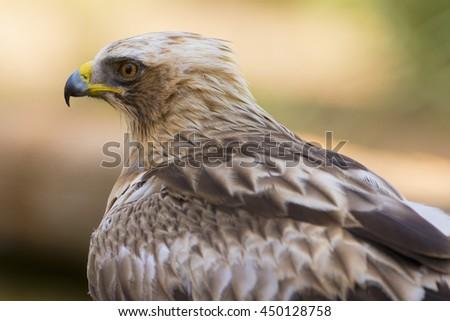 Booted Eagle Hieraaetus pennatus - stock photo
