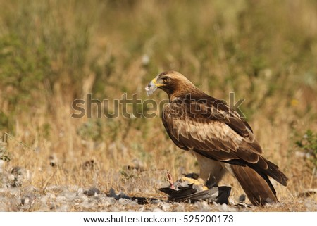Booted eagle - hunting