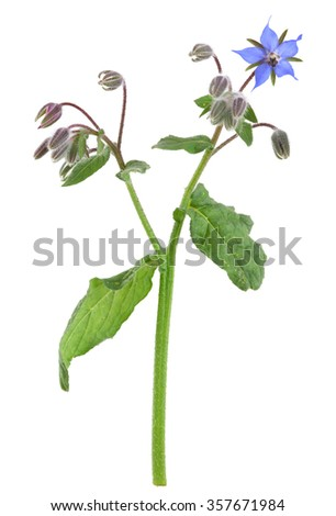 Borage, Borago officinalis isolated on white background