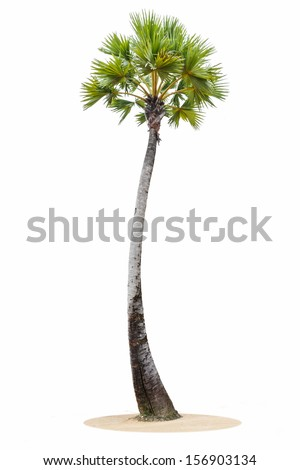 borassus flabellifer ( asian palmyra palm, toddy palm, sugar palm, or cambodian palm) tropical tree, isolated on white background