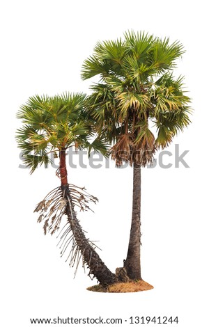Borassus flabellifer, known by several common names, including Asian Palmyra palm, Toddy palm, Sugar palm, or Cambodian palm, tropical tree in the northeast of Thailand isolated on white background