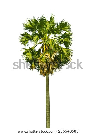 Borassus flabellifer, known by several common names, including Asian Palmyra palm, Toddy palm, Sugar palm.