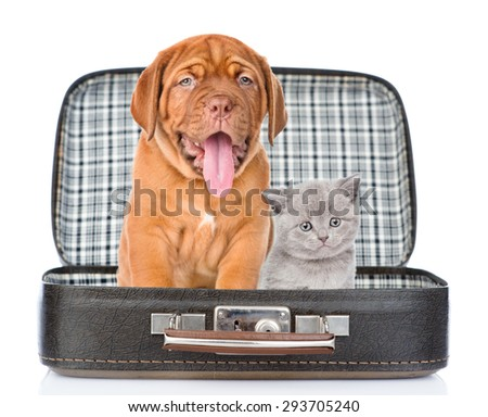 Bordeaux puppy and gray kitten sitting together in a bag. isolated on white background - stock photo
