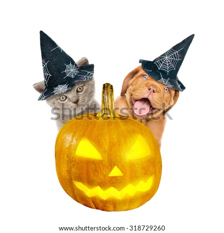 Bordeaux puppy and kitten  with hat for halloween peeks out from behind a pumpkin . isolated on white background - stock photo