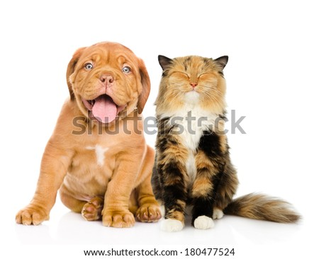 Bordeaux puppy dog and happy cat in front. isolated on white background - stock photo