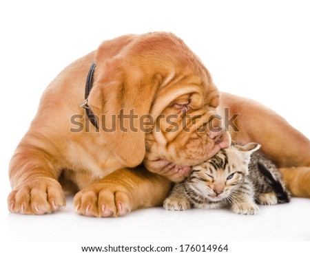 Bordeaux puppy dog kisses bengal kitten. isolated on white background - stock photo