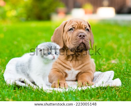 Bordeaux puppy dog lying with small kitten on green grass - stock photo