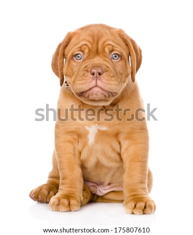 Bordeaux puppy dog sitting in front. isolated on white background - stock photo