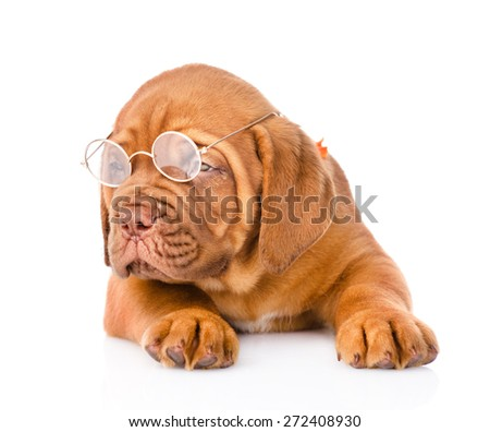 Bordeaux puppy dog with glasses - stock photo