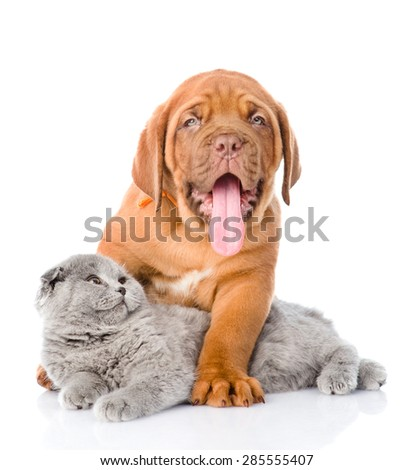 Bordeaux puppy dog with gray cat. isolated on white background